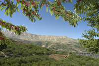 Cherry tree, Bcharre, Qadisha Valley, UNESCO World Heritage Site, North Lebanon, Middle East 20025358629| 写真素材・ストックフォト・画像・イラスト素材|アマナイメージズ