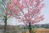 Spring blossom and lake at Ueno-koen park, Ueno, Tokyo, Japan, Asia