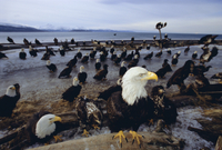 Bald eagles (Haliaetus leucocephalus) in February, Alaska, United States of America, North America