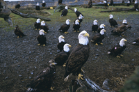 Bald eagle (Haliaetus leucocephalus) in February, Homer Spit, Alaska, United States of America, North America
