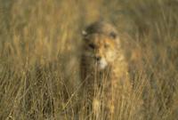 Cheetah stalking, Namibia, Africa 20025358734| 写真素材・ストックフォト・画像・イラスト素材|アマナイメージズ