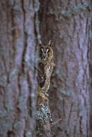 Long eared owl (Asio otus) in winter, Scotland, United Kingdom, Europe 20025358737  写真素材・ストックフォト・画像・イラスト素材 アマナイメージズ