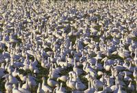 Snow geese in winter, Bosque del Apache, New Mexico, United States of America, North America 20025358739  写真素材・ストックフォト・画像・イラスト素材 アマナイメージズ