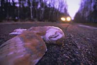 Road casualty, dead barn owl on road in winter, Scotland, United Kingdom, Europe 20025358744  写真素材・ストックフォト・画像・イラスト素材 アマナイメージズ