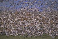 Snow geese in winter, Bosque del Apache, New Mexico, United States of America, North America 20025358747  写真素材・ストックフォト・画像・イラスト素材 アマナイメージズ