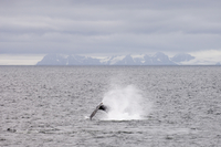 Whale near Livingston Island, South Shetland Islands, Antarctica, Polar Regions