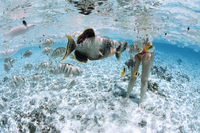Tikehau, Tuamotu archipelago, French Polynesia, Pacific Islands, Pacific 20025359143| 写真素材・ストックフォト・画像・イラスト素材|アマナイメージズ