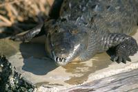 Crocodile, Black River, St. Elizabeth, Jamaica, West Indies, Central America