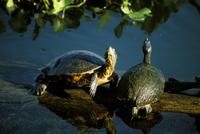 Mesoamerican slider turtles (Trachemys scripta ornata), River Chagres, Soberania Forest National Park, Gamboa, Panama, Central A