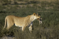 Lioness (Panthera leo) carrying cub to safety, Kalahari Gemsbok Park, South Africa, Africa