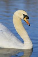 Mute swan (Cygnus olor), Martin Mere WWT, Lancashire, England, United Kingdom, Europe 20025359441| 写真素材・ストックフォト・画像・イラスト素材|アマナイメージズ