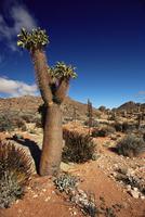 Halfmens (Pachypodium Namaquanum), Goegap Nature Reserve, Springbok, South Africa, Africa