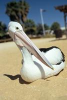 Australian pelican (Pelecanus conspicillatus), Shark Bay, Western Australia, Australia, Pacific 20025359467| 写真素材・ストックフォト・画像・イラスト素材|アマナイメージズ