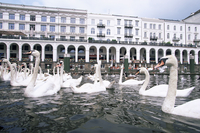 Swans in front of the Alster arcades in the Altstadt (Old Town), Hamburg, Germany, Europe 20025359676| 写真素材・ストックフォト・画像・イラスト素材|アマナイメージズ
