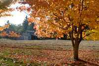 Maple trees in full autumn color and barn in background, Wax Orchard Road, Vashon Island, Washington State, United States of Ame 20025359699| 写真素材・ストックフォト・画像・イラスト素材|アマナイメージズ