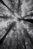 Mountain Ash trees, tallest flowering plants in the world, in fog, Dandenong Ranges, Victoria, Australia, Pacific 20025359752  写真素材・ストックフォト・画像・イラスト素材 アマナイメージズ