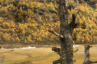 Larches in autumn colours, Yading Nature Reserve, Sichuan Province, China, Asia