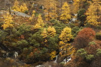 Autumn colours, Yading Nature Reserve, Sichuan Province, China, Asia 20025359825| 写真素材・ストックフォト・画像・イラスト素材|アマナイメージズ