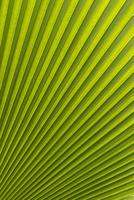 Palm leaf, Botanical Gardens, Georgetown, Penang, Malaysia, Southeast Asia, Asia 20025360567  写真素材・ストックフォト・画像・イラスト素材 アマナイメージズ