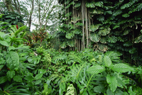 Lush vegetation at Akaka Falls, the warmth, high rainfall and fertile volcanic soils of the east coast create rich forests, Big