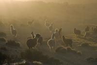 Llamas, Lauca National Park, Atacama, Chile, South America 20025360799  写真素材・ストックフォト・画像・イラスト素材 アマナイメージズ