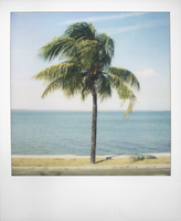 Polaroid of single palm tree with Caribbean Sea in background, Cienfuegos, Cuba, West Indies, Central America