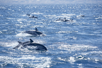 Group of striped dolphins (Stenella coeruleoalba) swimming, Strait of Gibraltar, Costa de la Luz, Andalucia (Andalusia), Spain, 20025360939| 写真素材・ストックフォト・画像・イラスト素材|アマナイメージズ