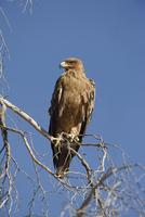 Tawny eagle (Aquila rapax), Kgalagadi Transfrontier Park, Northern Cape, South Africa, Africa 20025360982| 写真素材・ストックフォト・画像・イラスト素材|アマナイメージズ