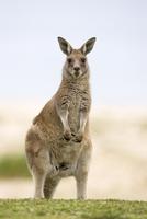 Eastern grey kangaroo (Macropus fuliginosus), Marramarang National Park, New South Wales, Australia, Pacific