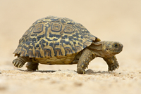 Leopard tortoise (Geochelone pardalis), Addo Elephant National Park, South Africa, Africa