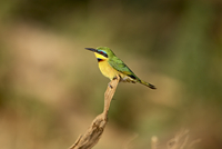 Little bee-eater (Merops pusillus), Samburu National Reserve, Kenya, East Africa, Africa