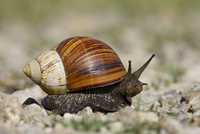 East African land snail (Achatina fulica), Serengeti National Park, Tanzania, East Africa, Africa
