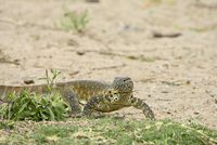 Water monitor (Varanus niloticus), Kruger National Park, South Africa, Africa