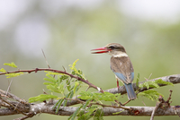 Brown-hooded kingfisher (Halcyon albiventris), Kruger National Park, South Africa, Africa