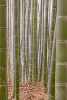 Close-up of stems, Bamboo Forest, Sagano, Ukyo Ward, Arashiyama, Kyoto, Kansai region, island of Honshu, Japan, Asia 20025361155  写真素材・ストックフォト・画像・イラスト素材 アマナイメージズ