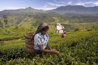 Women tea pickers, Tea Hills, Hill Country, Nuwara Eliya, Sri Lanka, Asia 20025361157| 写真素材・ストックフォト・画像・イラスト素材|アマナイメージズ