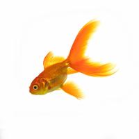 Goldfish 20025361209| 写真素材・ストックフォト・画像・イラスト素材|アマナイメージズ