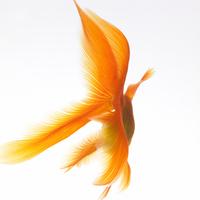 Goldfish 20025361210| 写真素材・ストックフォト・画像・イラスト素材|アマナイメージズ
