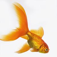 Goldfish 20025361213| 写真素材・ストックフォト・画像・イラスト素材|アマナイメージズ
