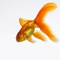 Goldfish 20025361214| 写真素材・ストックフォト・画像・イラスト素材|アマナイメージズ