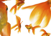 Goldfish 20025361217| 写真素材・ストックフォト・画像・イラスト素材|アマナイメージズ