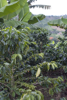 Coffee beans growing on the vine, Recuca Coffee, near Armenia, Colombia, South America 20025361232| 写真素材・ストックフォト・画像・イラスト素材|アマナイメージズ