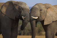 Elephants, Loxodonta africana, socialising in Addo Elephant National park, Eastern Cape, South Africa
