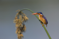 Malachite kingfisher (Alcedo cristata) on reed in Kruger National Park, Mpumalanga, South Africa, Africa