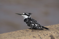 Pied kingfisher (Ceryle rudis), fishing from perch on bridge in Kruger National Park, Mpumalanga, South Africa, Africa
