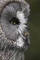 Portrait of a great grey owl (Strix nebulosa), captive, United Kingdom, Europe 20025361299  写真素材・ストックフォト・画像・イラスト素材 アマナイメージズ