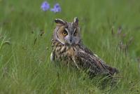 Long-eared owl (Asio otus), Muncaster, Cumbria, England, United Kingdom, Europe 20025361301  写真素材・ストックフォト・画像・イラスト素材 アマナイメージズ