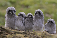 Chicks of Northern hawk owl (Surnia ulula ulula), native to Scandinavia and Eurasia, captive, World Owl Trust, Cumbria, England, 20025361302| 写真素材・ストックフォト・画像・イラスト素材|アマナイメージズ