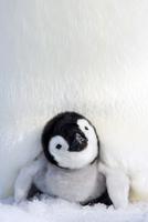 Emperor penguin (Aptenodytes forsteri), chick, Snow Hill Island, Weddell Sea, Antarctica, Polar Regions 20025361354  写真素材・ストックフォト・画像・イラスト素材 アマナイメージズ