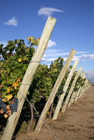 Vineyards and the Andes mountains in Lujan de Cuyo, Mendoza, Argentina, South America 20025361360| 写真素材・ストックフォト・画像・イラスト素材|アマナイメージズ